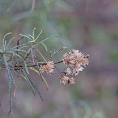 Cassinia quinquefaria (Cassinia) at Dryandra St Woodland - 18 Sep 2020 by ConBoekel