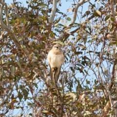 Falco cenchroides (Nankeen Kestrel) at Queanbeyan Nature Reserve - 18 Sep 2020 by Speedsta