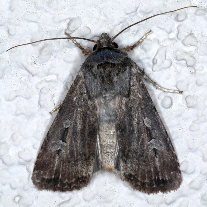 Agrotis infusa at Ainslie, ACT - 20 Sep 2020