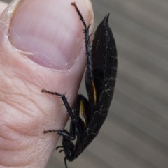 Platyzosteria similis at Michelago, NSW - 13 Jun 2020