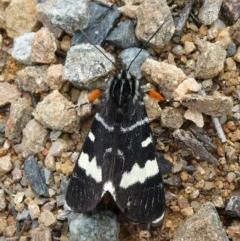 Phalaenoides glycinae (Grapevine Moth) at Tuggeranong Hill - 21 Sep 2020 by Owen