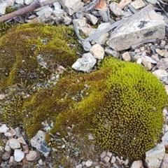 Didymodon torquatus (A moss) at Bruce Ridge - 21 Sep 2020 by tpreston