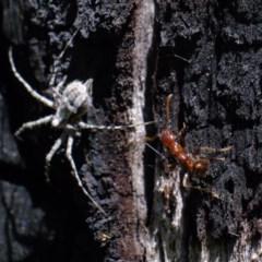 Tamopsis sp. (genus) (Two-tailed spider) at Piney Ridge - 21 Sep 2020 by Kurt