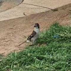 Cracticus torquatus (Grey Butcherbird) at Jerrabomberra, NSW - 19 Sep 2020 by Speedsta