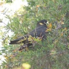 Calyptorhynchus funereus (Yellow-tailed Black-Cockatoo) at Jerrabomberra, NSW - 21 Sep 2020 by Speedsta
