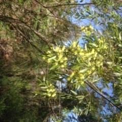 Acacia sp. at Hughes, ACT - 21 Sep 2020 by jennyt
