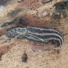 Limax maximus (Leopard Slug, Great Grey Slug) at Flea Bog Flat, Bruce - 21 Sep 2020 by tpreston