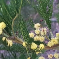 Acacia decurrens (Green Wattle) at Flea Bog Flat, Bruce - 21 Sep 2020 by tpreston