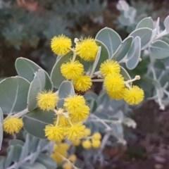 Acacia podalyriifolia (Sunshine Wattle) at Flea Bog Flat, Bruce - 21 Sep 2020 by tpreston