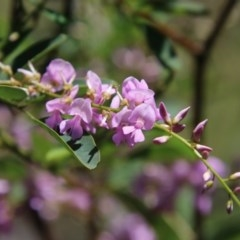 Indigofera australis subsp. australis (Australian Indigo) at Red Hill Nature Reserve - 21 Sep 2020 by LisaH