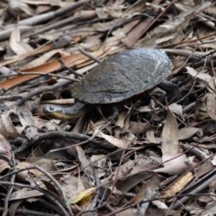 Chelodina longicollis (Eastern Long-neck Turtle) at Tidbinbilla Nature Reserve - 21 Sep 2020 by ClubFED