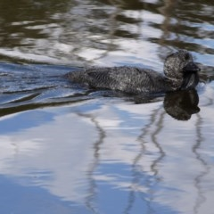 Biziura lobata (Musk Duck) at Tidbinbilla Nature Reserve - 21 Sep 2020 by ClubFED