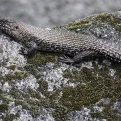 Egernia cunninghami (Cunningham's Skink) at Tidbinbilla Nature Reserve - 21 Sep 2020 by ClubFED