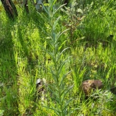 Chrysocephalum semipapposum (Clustered Everlasting) at Nail Can Hill - 20 Sep 2020 by Fpedler