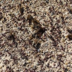 Iridomyrmex purpureus (Meat Ant) at Isaacs Ridge and Nearby - 21 Sep 2020 by Mike