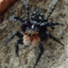 Unidentified Jumping & peacock spider (Salticidae) (TBC) at Spence, ACT - 20 Sep 2020 by Laserchemisty