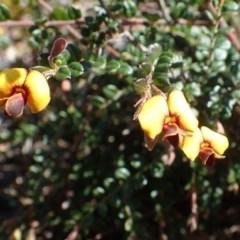 Bossiaea buxifolia (Bush Pea) at Black Mountain - 21 Sep 2020 by RWPurdie