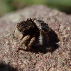 Maratus vespertilio (Bat-like peacock spider) at Wee Jasper, NSW - 21 Sep 2020 by Laserchemisty