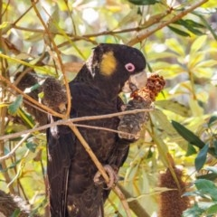Calyptorhynchus funereus (Yellow-tailed Black-Cockatoo) at ANBG - 16 Sep 2020 by mlim