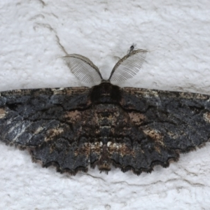 Pholodes sinistraria at Ainslie, ACT - 21 Sep 2020