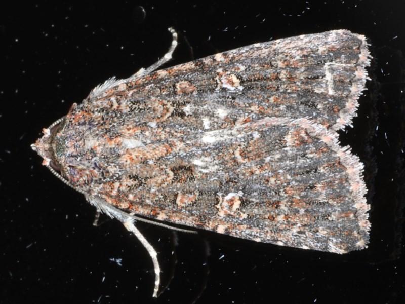 Hypoperigea tonsa at Ainslie, ACT - 21 Sep 2020