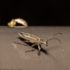 Temnosternus planiusculus (Longhorn beetle) at ANBG - 21 Sep 2020 by Roger