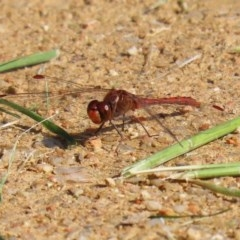 Diplacodes bipunctata (Wandering Percher) at Jerrabomberra Wetlands - 21 Sep 2020 by RodDeb