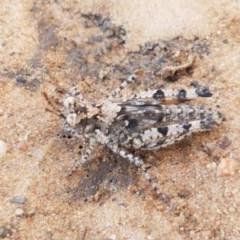 Pycnostictus seriatus (Common Bandwing) at Dryandra St Woodland - 22 Sep 2020 by tpreston