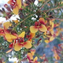 Dillwynia phylicoides (A Parrot-pea) at Dryandra St Woodland - 22 Sep 2020 by tpreston
