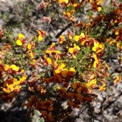 Dillwynia phylicoides at Dryandra St Woodland - 22 Sep 2020