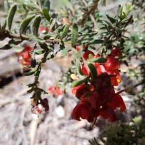 Grevillea alpina at Dryandra St Woodland - 22 Sep 2020