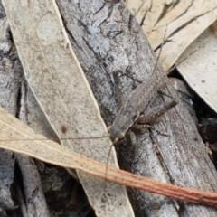 Eurepa marginipennis (TBC) at Dryandra St Woodland - 22 Sep 2020 by tpreston