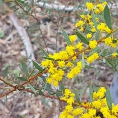 Acacia buxifolia subsp. buxifolia (Box-leaf Wattle) at Dryandra St Woodland - 22 Sep 2020 by tpreston