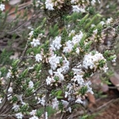 Leucopogon attenuatus (Small leaved beard heath) at Dryandra St Woodland - 22 Sep 2020 by tpreston