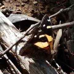 Vanessa itea (Yellow Admiral) at Dryandra St Woodland - 22 Sep 2020 by tpreston
