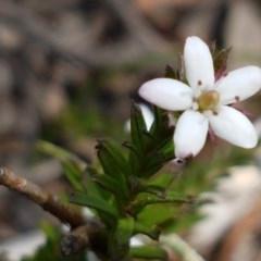 Rhytidosporum procumbens (White Rhytidosporum) at Dryandra St Woodland - 22 Sep 2020 by tpreston