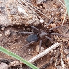 Gnaphosidae sp. (family) (Ground spider) at Dryandra St Woodland - 22 Sep 2020 by tpreston