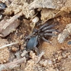Gnaphosidae sp. (family) at Dryandra St Woodland - 22 Sep 2020