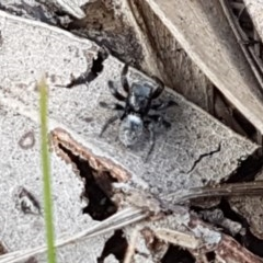 Salticidae sp. 'Golden palps' (Unidentified jumping spider) at Dryandra St Woodland - 22 Sep 2020 by tpreston