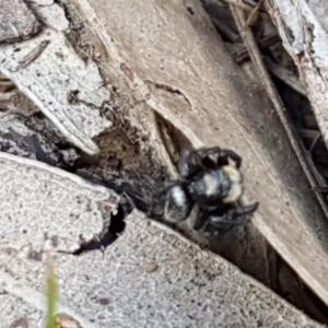 Salticidae sp. 'Golden palps' at Dryandra St Woodland - 22 Sep 2020