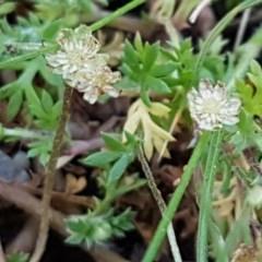 Cotula australis (Common Cotula, Carrot Weed) at Dryandra St Woodland - 22 Sep 2020 by tpreston
