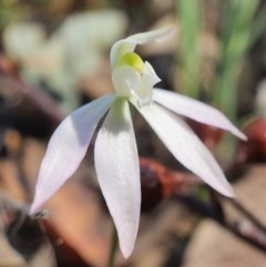 Caladenia fuscata (Dusky fingers) at Point 20 - 21 Sep 2020 by shoko