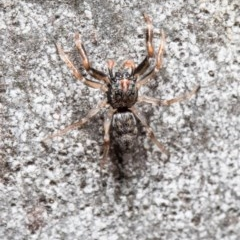 Arasia mollicoma (Flat-white Jumping Spider) at ANBG - 21 Sep 2020 by Roger