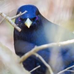 Ptilonorhynchus violaceus (Satin Bowerbird) at Acton, ACT - 16 Sep 2020 by mlim