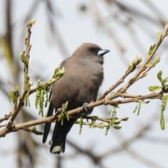 Artamus cyanopterus (Dusky Woodswallow) at Noreuil Park - 22 Sep 2020 by Michelleco