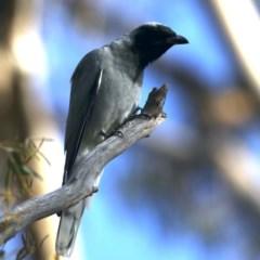 Coracina novaehollandiae (Black-faced Cuckooshrike) at Majura, ACT - 22 Sep 2020 by jbromilow50