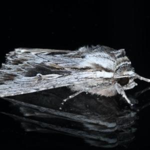Persectania ewingii at Ainslie, ACT - 22 Sep 2020