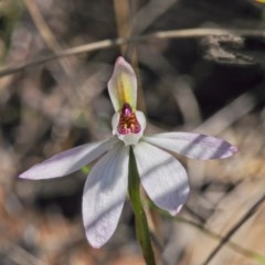 Caladenia fuscata (Dusky fingers) at Acton, ACT - 22 Sep 2020 by BarrieR