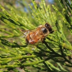 Apis mellifera (European honey bee) at Conder, ACT - 19 Apr 2020 by michaelb