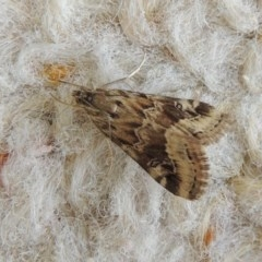 Hellula hydralis (Cabbage Centre Moth) at Conder, ACT - 27 Apr 2020 by michaelb